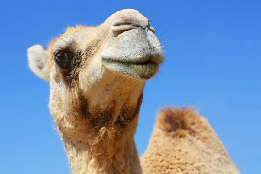 Potter Park Zoo Camel Rides