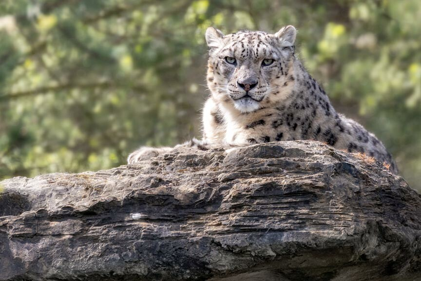 Potter Park Zoo Snow Leopard